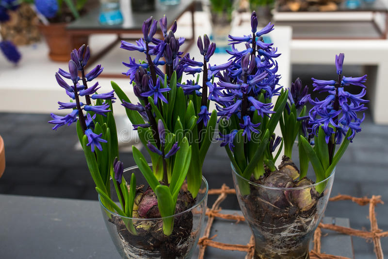 Новый вид декоративного цветка чеснока стоковое фото