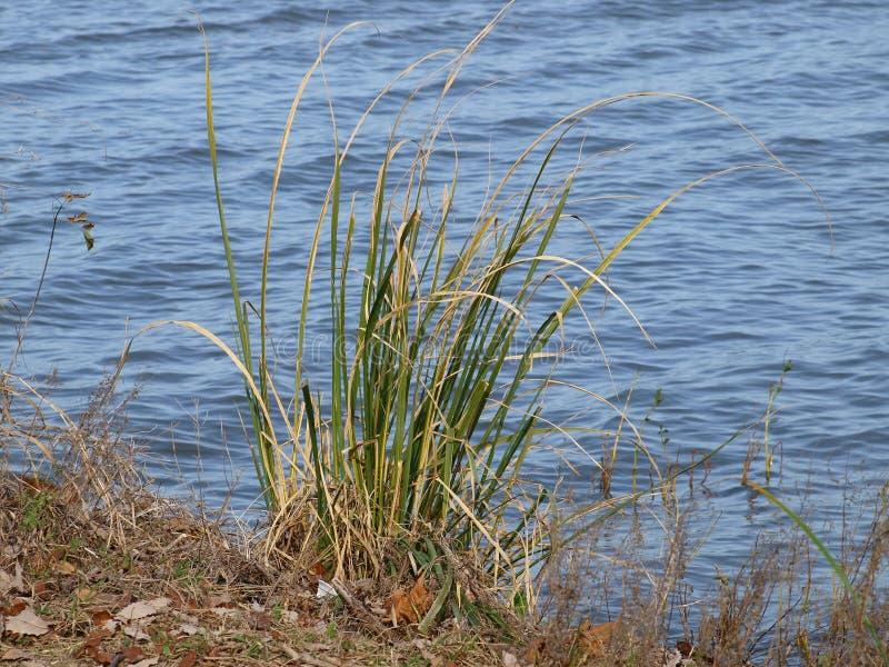 Новый всход тростников появляется вдоль a Lakeshore стоковые фото