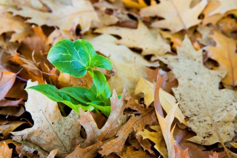 Новый завод был рожден среди сухих листьев стоковые изображения