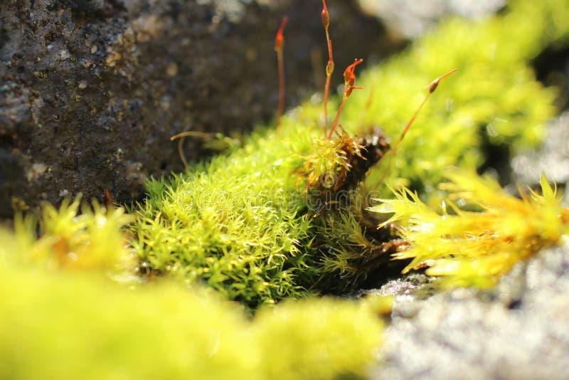Новый мох роста стоковая фотография rf