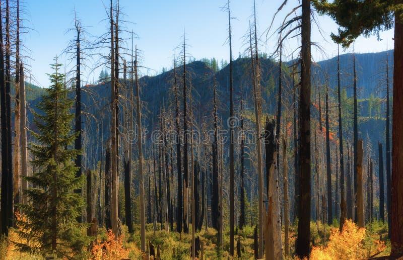 Новый рост в старом лесном пожаре стоковое фото rf