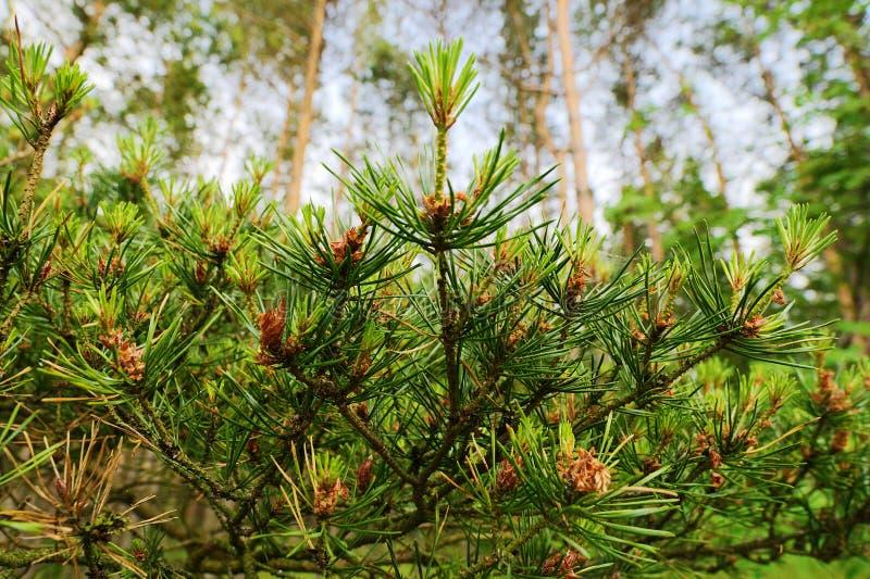 Новый рост на ветвях дерева sylvestris Pinus Scots или шотландской сосны Молодой вечнозеленый coniferous завод с мужским цветнем  стоковые фото