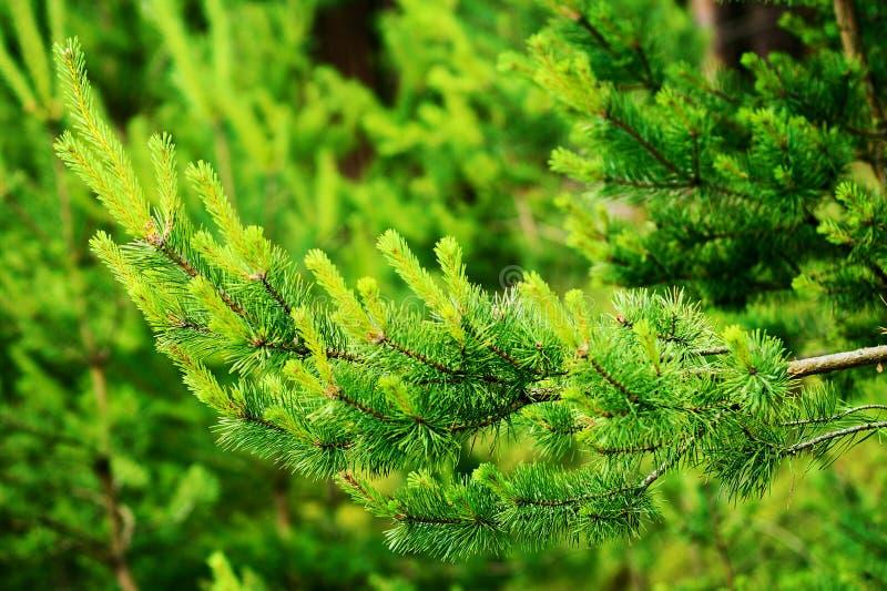 Новый рост на Scots или шотландских sylvestris Pinus ветви сосны стоковое изображение