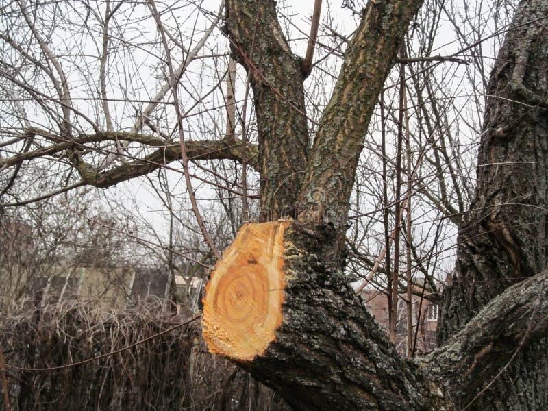 Новый свежий отрезок на хоботе дерева абрикоса Концепция хирургии весны и осени фруктового дерева в саде, стоковые фотографии rf