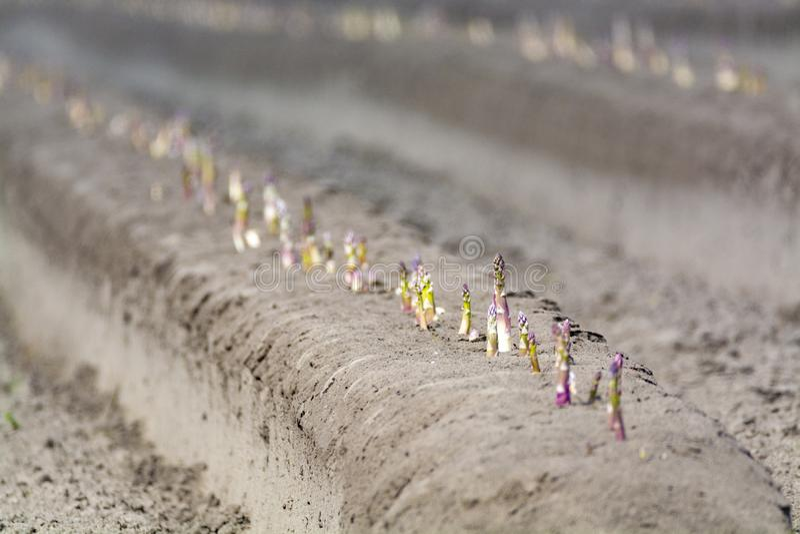 Новый сезон сбора на спарже полей овоща спаржи, белых и пурпурных растя расчехленный на ферме стоковое изображение rf