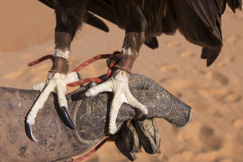 Download Ноги большого запятнанного орла Стоковое Фото - изображение насчитывающей когти, дубай: 81804898
