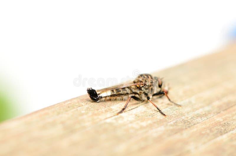 Ноги взгляда со стороны мухы убийцы обернутые вокруг мухы стоковое изображение rf