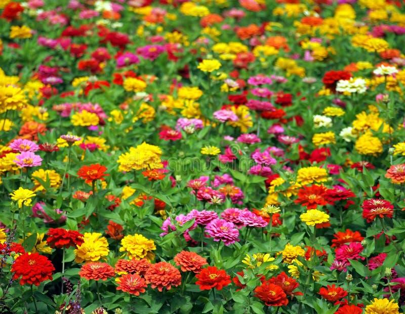ноготки цветка поля большие стоковые фотографии rf