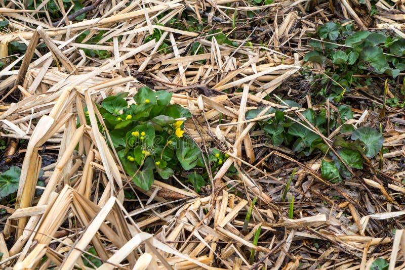 Ноготк болота Мичигана одичалый желтый стоковая фотография rf