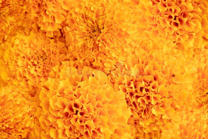 Ноготк - желтые текстура и предпосылка конспекта цветка стоковые изображения