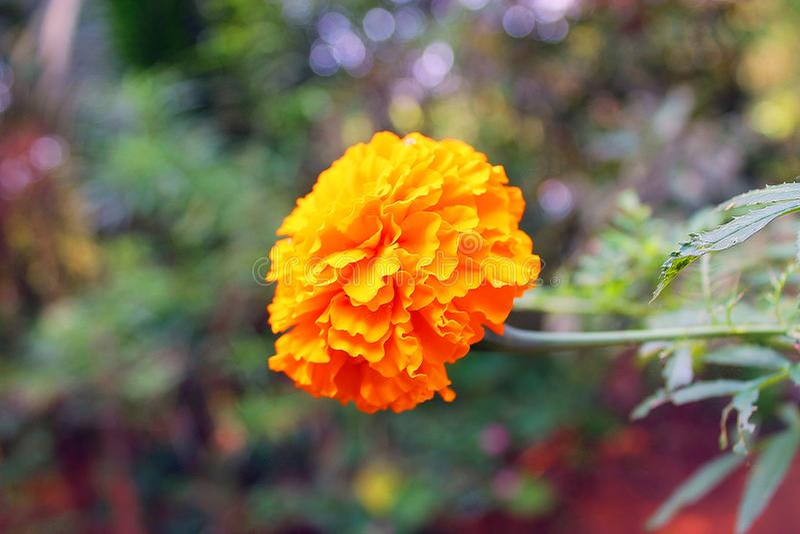 Ноготк желтый цветок стоковое изображение