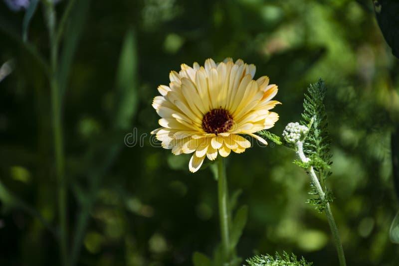 Ноготк пустыни Аризоны Фото макроса желтого wildflower вызвало ноготк пустыни Связано с ноготк, который выросли внутри стоковая фотография