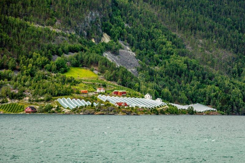 Норвежская аграрная ферма с парниками на холме на фьорде Naeroy, Aurlan, графстве Fjordane og Sogn, Норвегии стоковая фотография rf