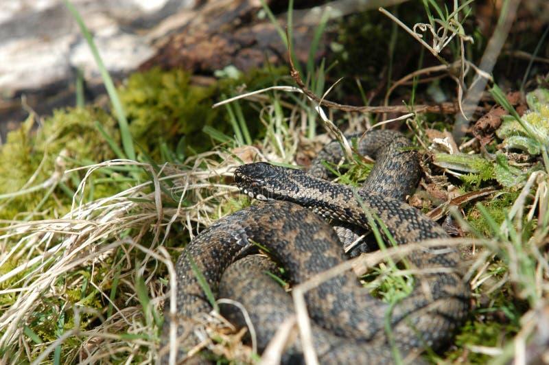 норвежская змейка стоковые фотографии rf