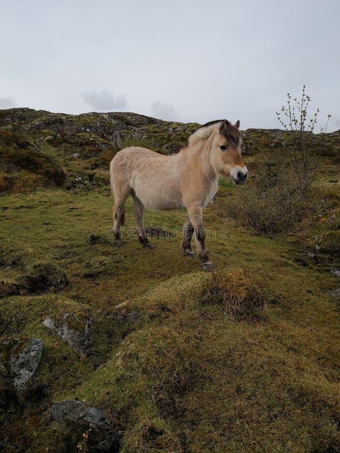 Норвежская лошадь фьорда в естественных условиях стоковая фотография rf