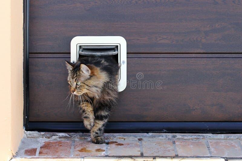 Норвежский кот леса проходит через щиток кота стоковое фото