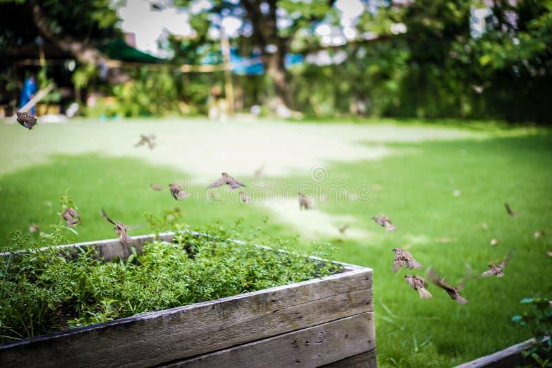 Нормальная группа воробья летает прочь в солнечный свет после полудня на саде стоковые фотографии rf