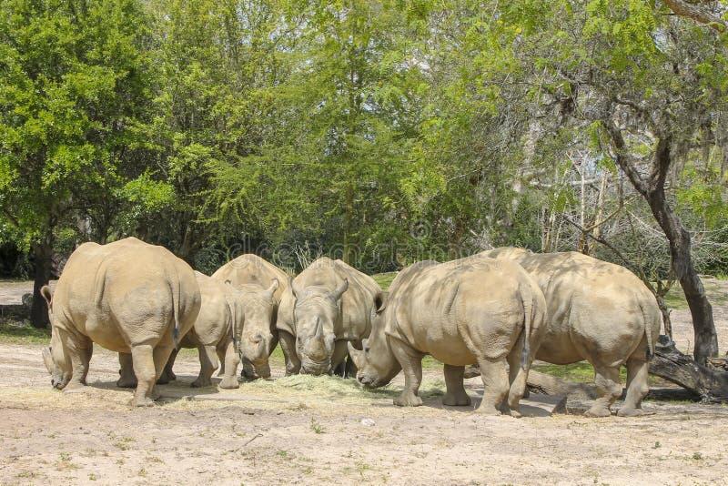 Носороги в джунглях Африки стоковое фото