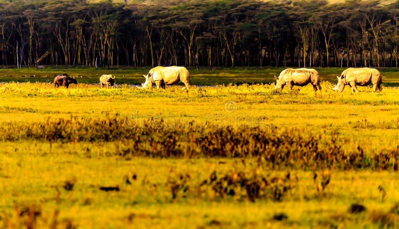 Носороги в Masai Mara стоковое изображение rf