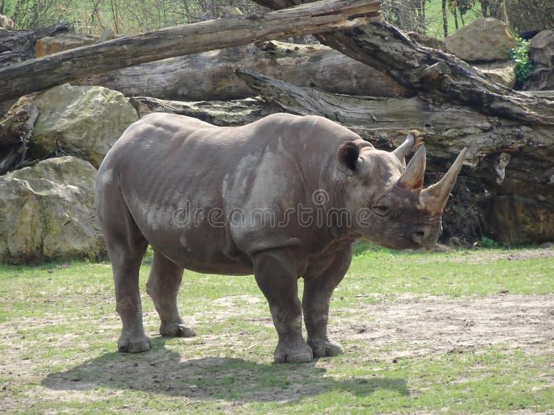 Носорог в зоопарке стоковое фото rf