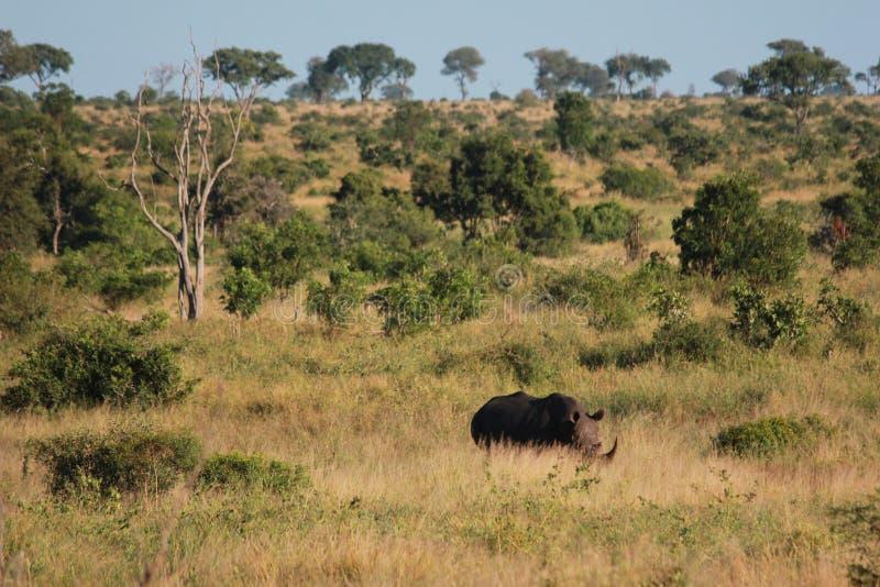 Носорог в траве стоковое изображение rf