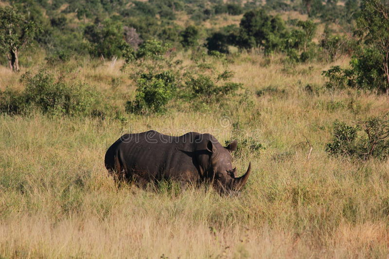 Носорог в траве стоковое фото