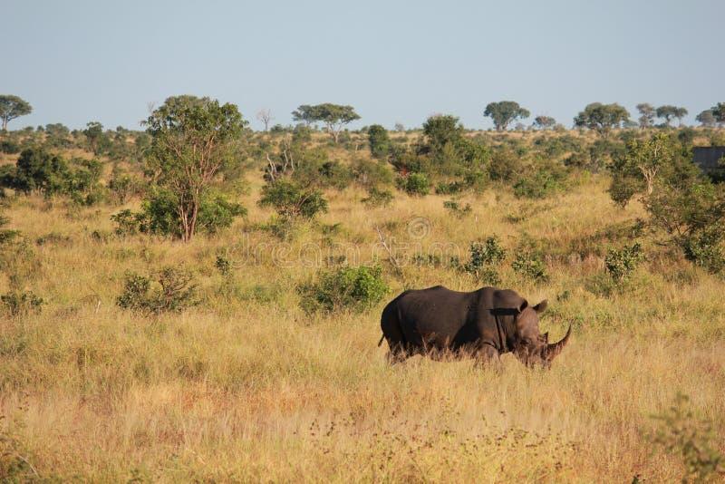 Носорог в траве стоковое фото rf