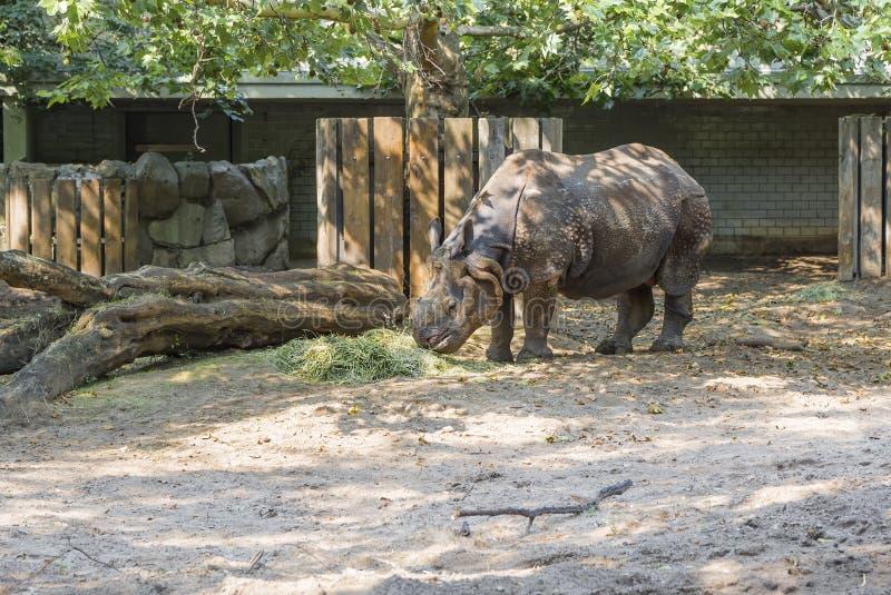 Носорог есть сено стоковое фото rf