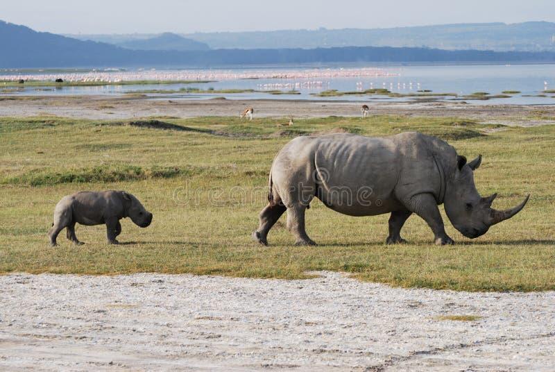 носорог младенца стоковая фотография