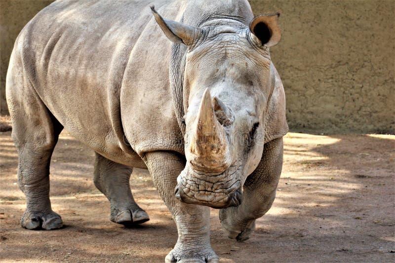 Носорог на зоопарке Феникса, Феникс, Аризона Соединенные Штаты стоковое фото rf