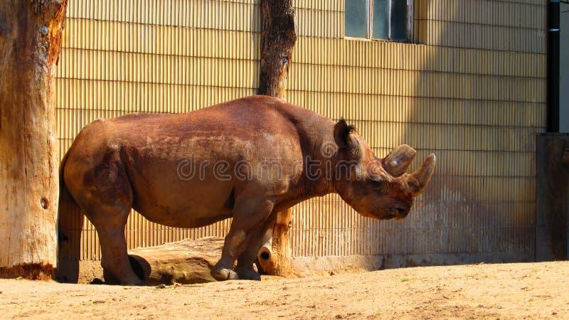 Носорог на зоопарке Франкфурта стоковое изображение rf