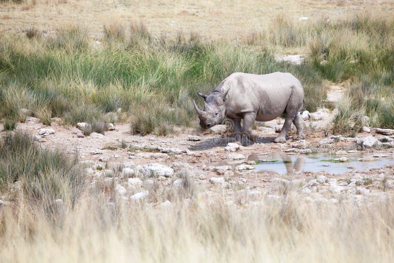 Носорог с 2 бивнями в национальном парке Etosha, конце Намибии вверх, сафари в Южная Африка в засушливом сезоне стоковая фотография