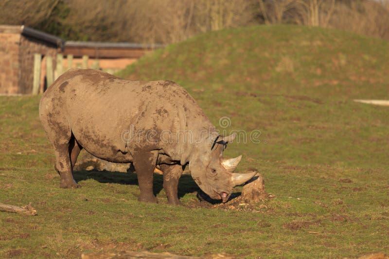 Носорог черноты Tsavo стоковое изображение