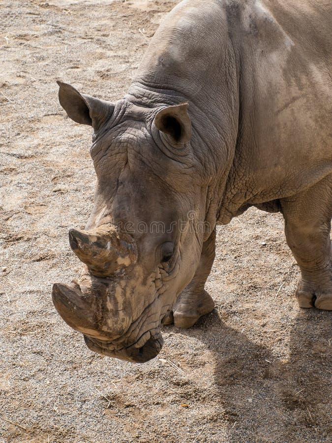 Носорог стоковые изображения