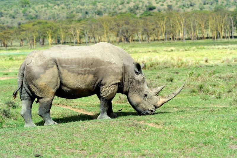 Download носорог стоковое изображение. изображение насчитывающей носорог - 40583987