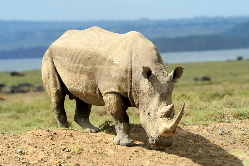 Download носорог стоковое фото. изображение насчитывающей природа - 40584274