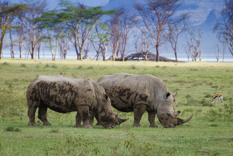 Носорог Ywo в национальном парке Nakuru озера стоковая фотография