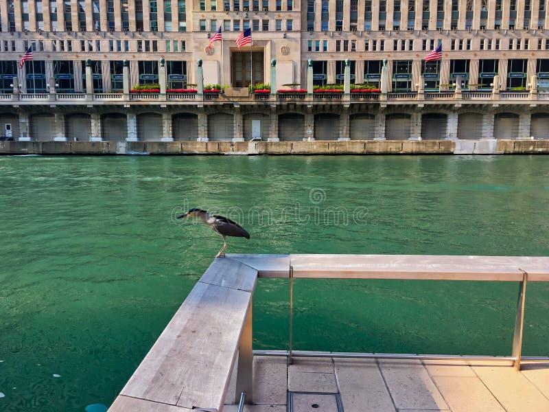 Ноч-цапля Черно-увенчанная детенышами, вымирающие виды, садить на насест на уступе деревянной пристани пока посещающ Чикаго стоковая фотография rf