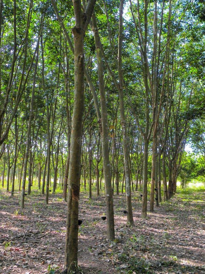 Ноябрь 2017 - Chachoengsao, Таиланд - роща резиновых будучи сжатым деревьев стоковая фотография rf