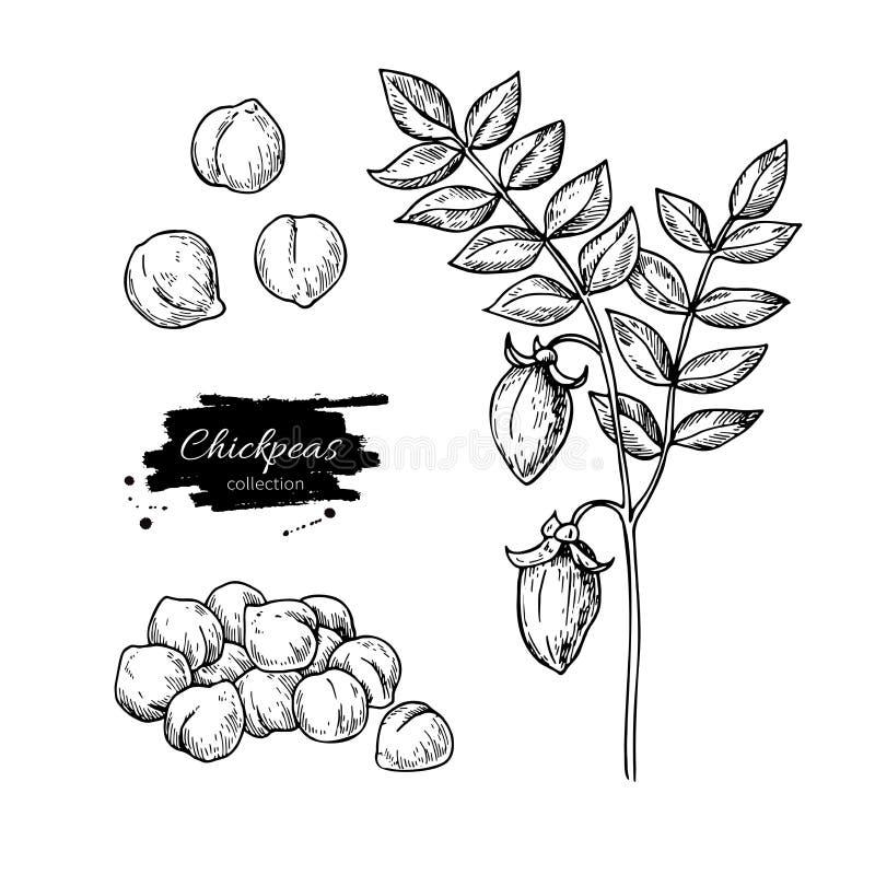 Нуты вручают вычерченную иллюстрацию вектора Изолированный овощ выгравировал объект стиля иллюстрация вектора
