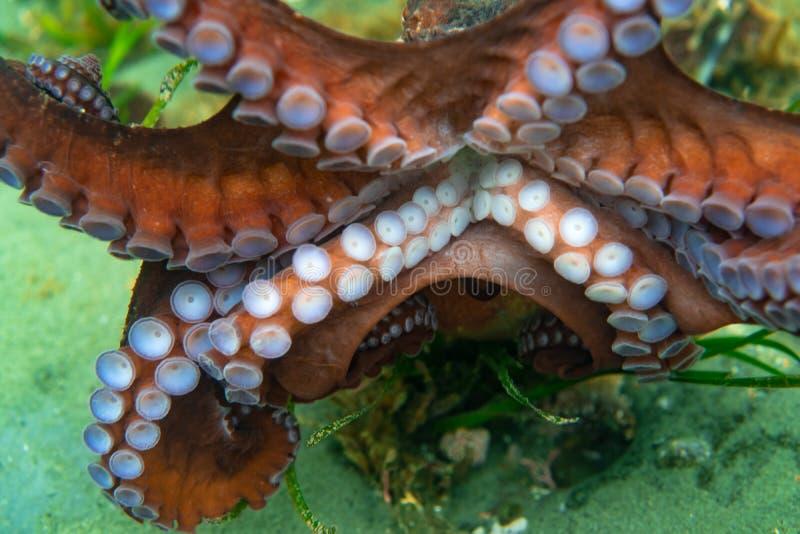 Нырять и подводная фотография, осьминог под водой в своей естественной среде обитания стоковое изображение rf
