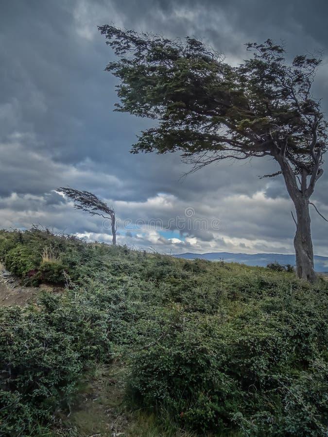 Обветренное дерево сильным воздухом в Патагонии стоковая фотография rf