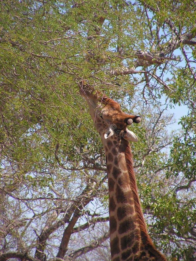 Обгрызать жирафа занятый на ветвях дерева стоковое изображение rf