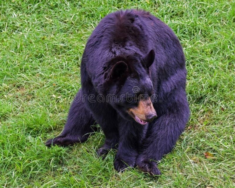 Обедающий черного медведя ждать стоковое фото rf