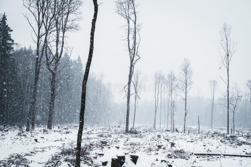 Обезлесение в снежной зиме Древесины режа вниз стоковое фото