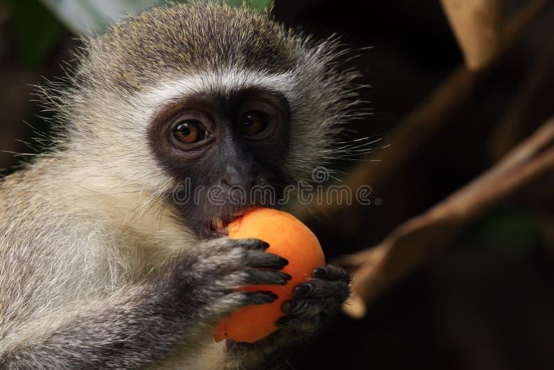 обезьяна абрикоса стоковое изображение rf