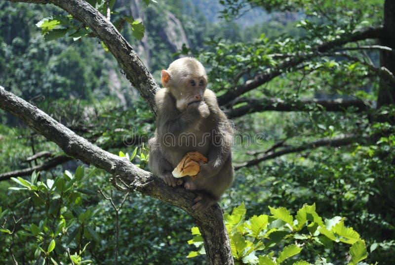 Обезьяна в дереве в Аньхое, Китае стоковые изображения