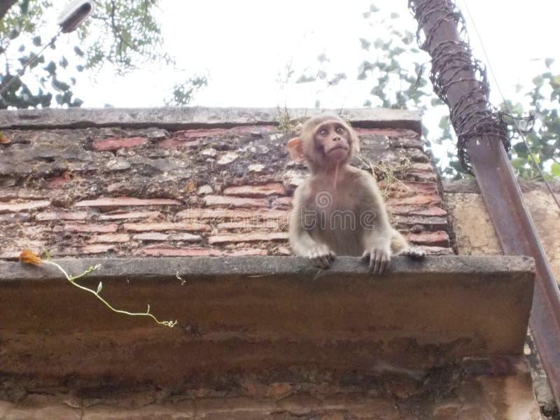 Обезьяна в Священном городе Варанаси в Индии стоковые фото