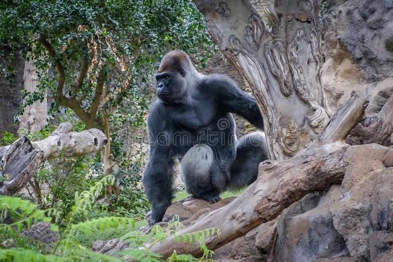 Обезьяна гориллы, горилла silverback в природе стоковое фото rf