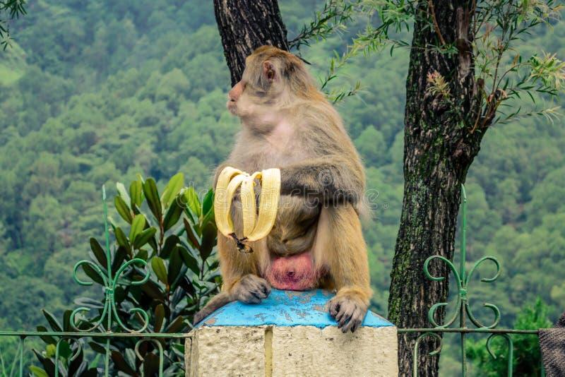 Обезьяна есть банан стоковое изображение